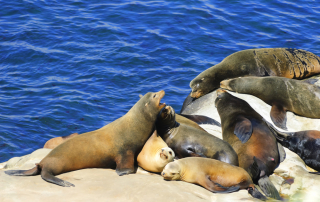 Seals and Sea Lions at La Jolla Cove