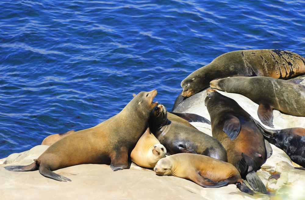 Seals and Sea Lions at La Jolla Cove