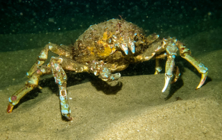 Sheep Crab, The Giant Crab of La Jolla