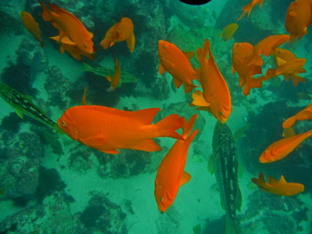 La Jolla Cove Garibaldi