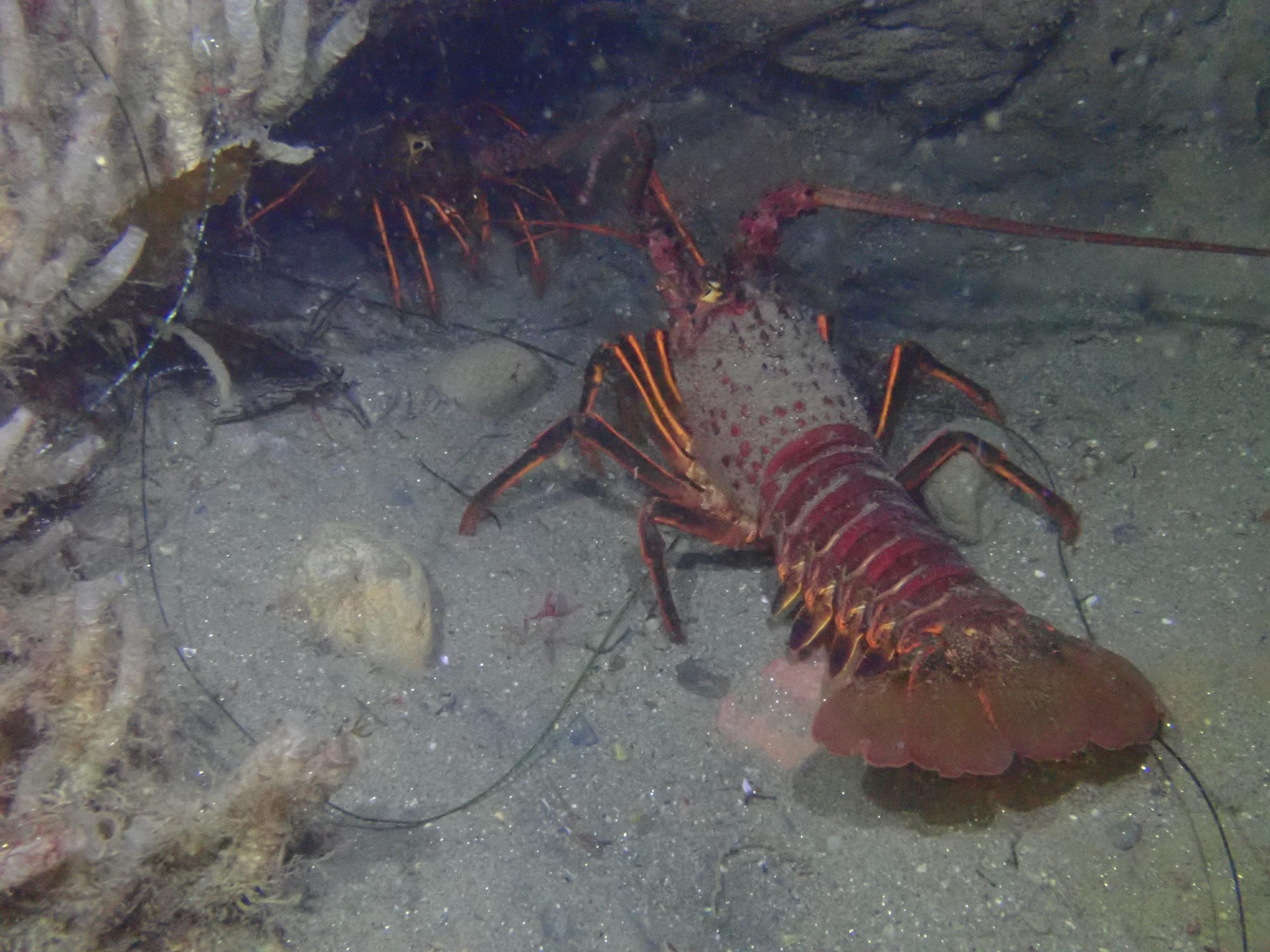 California Spiny Lobsters at La Jolla Cove