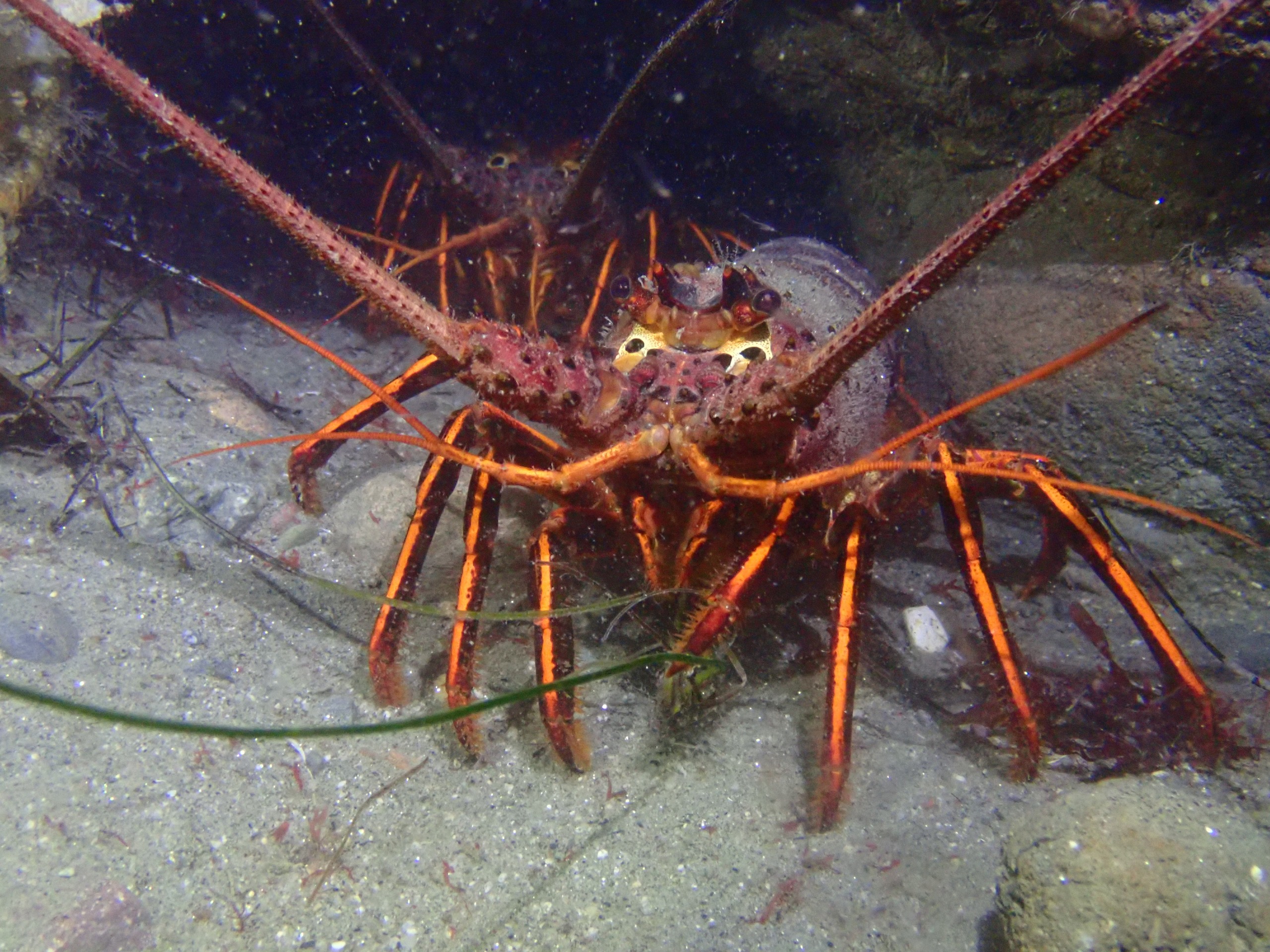 California Spiny Lobsters at La Jolla Cove