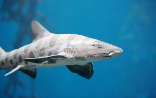 Snorkeling with Leopard Sharks at La Jolla Shores