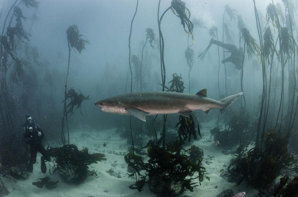 Seven gill or cow shark