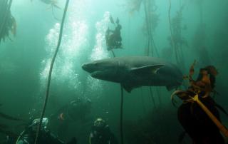 Seven gill shark